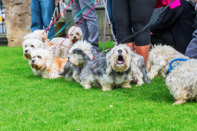 Réunion de propriétaire du Dandie Dinmont Terrier image libre de droits