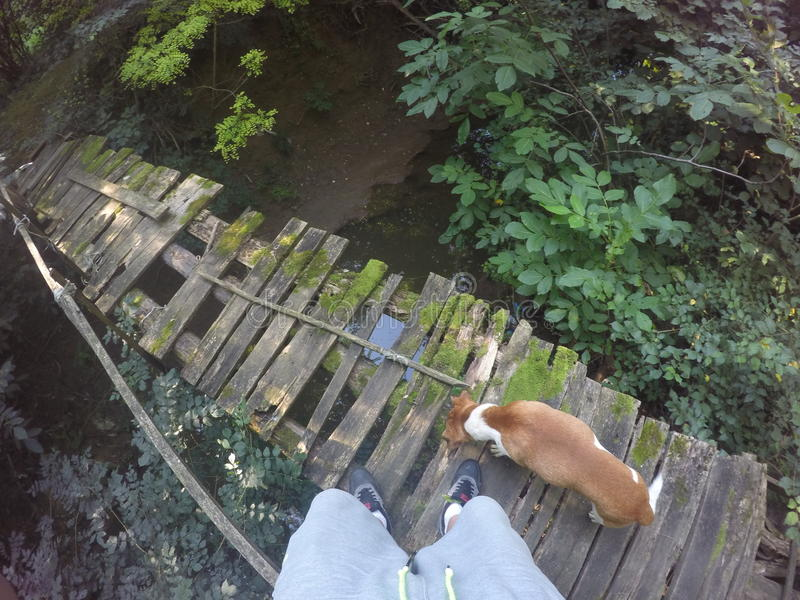Réussi peu sûr de l'eau de panneaux de pont de chien de forêt images stock