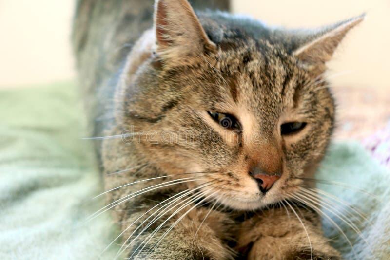 Réveiller juste le beau chat photo stock