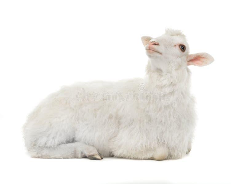 Rêvant des moutons d'isolement images libres de droits