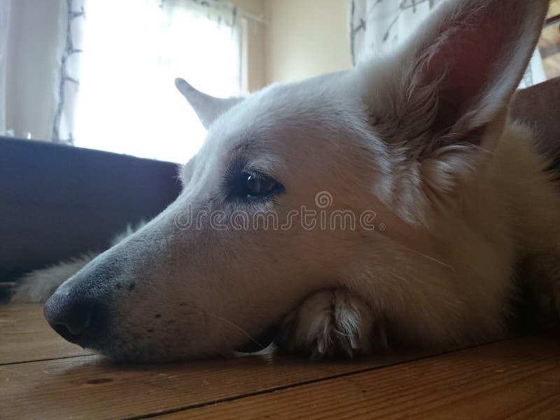 Rêve de chien images libres de droits