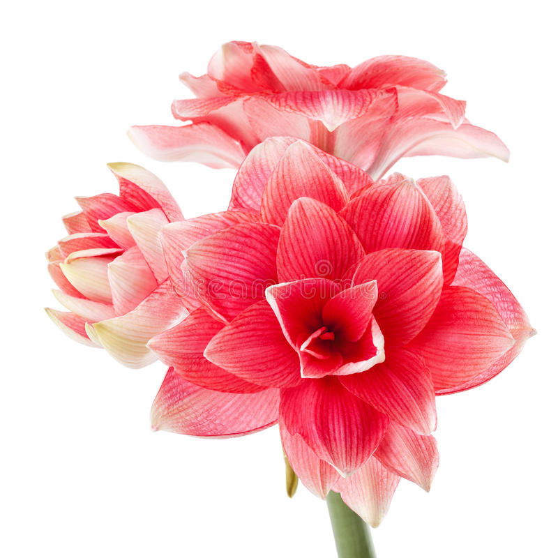 Rêve de double de Hippeastrum photo stock