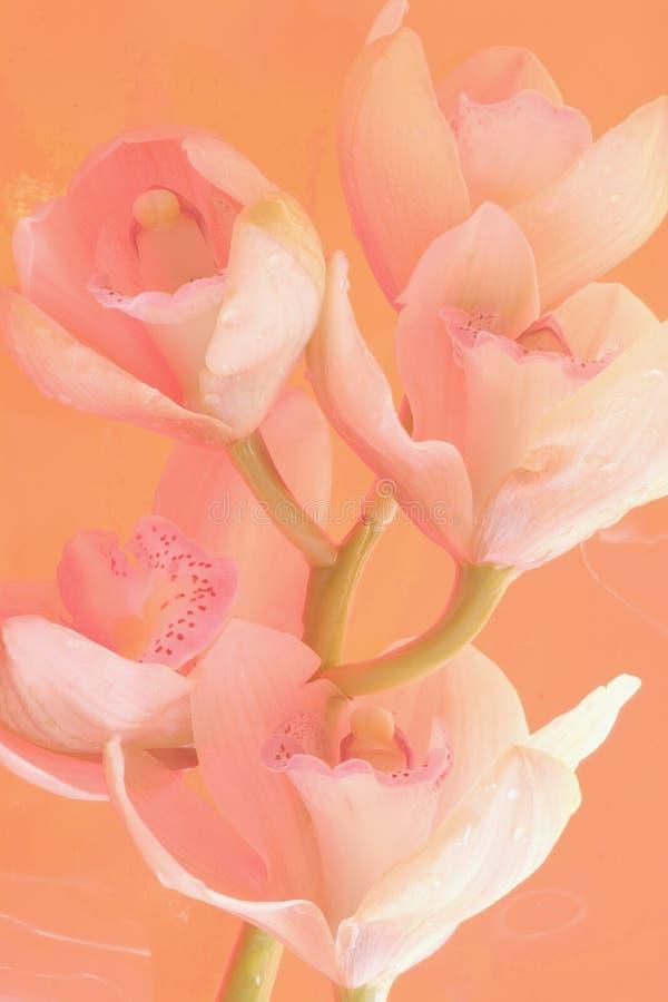 Rêve doux d'orchidée image stock