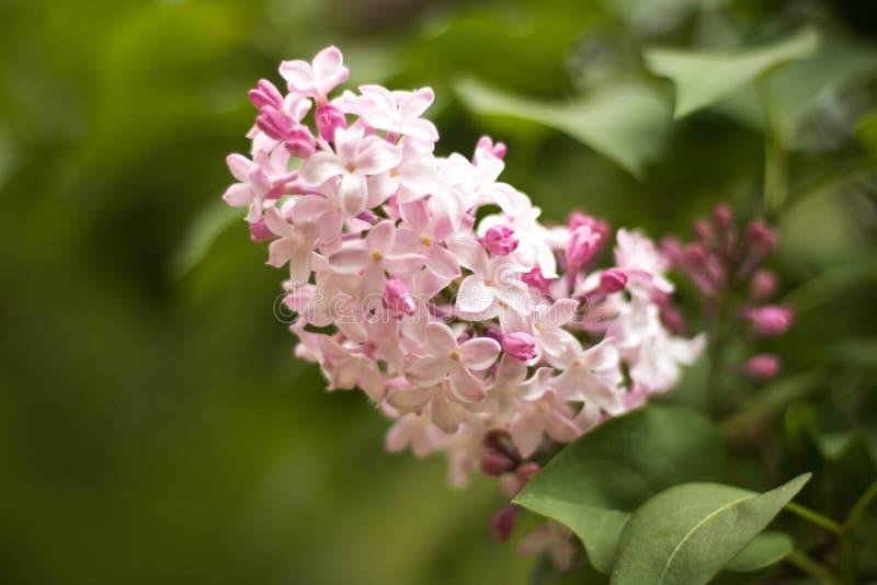 Rêve rose dans la forêt enchantée photos libres de droits