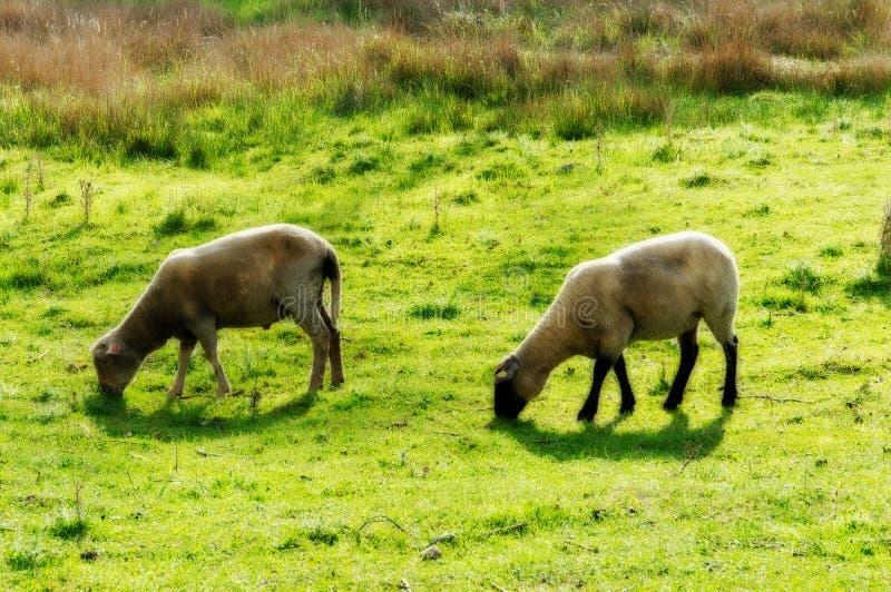 Rêver des moutons images stock