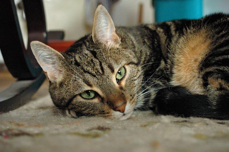 Rêver le chat photographie stock libre de droits