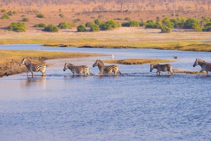 Río de Chobe del paso de cebras foto de archivo libre de regalías