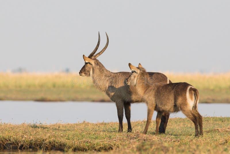 Río de la exploración de Waterbucks para los depredadores imagenes de archivo
