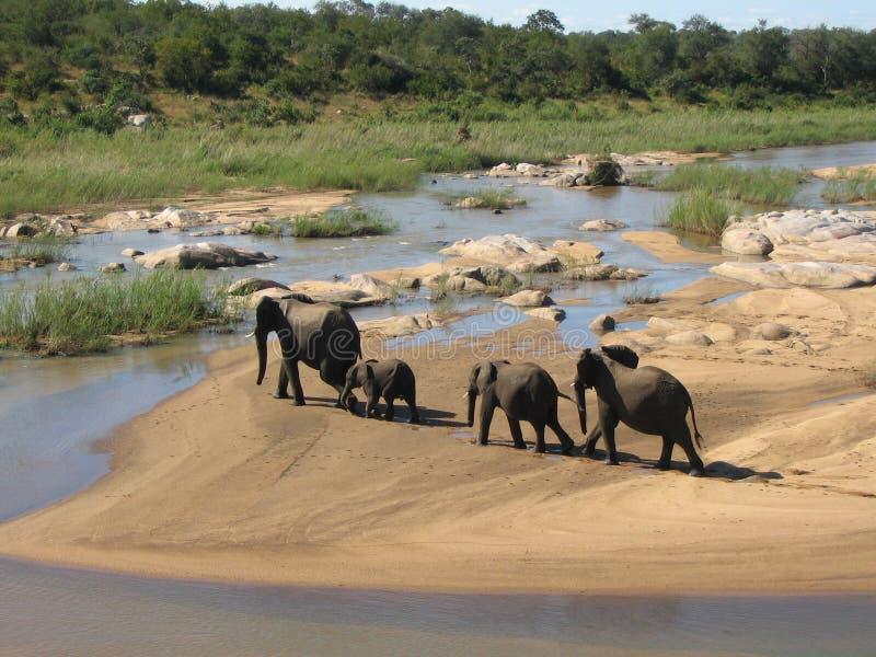 Río de la travesía de la familia del elefante en África Concepto de la migración imagen de archivo
