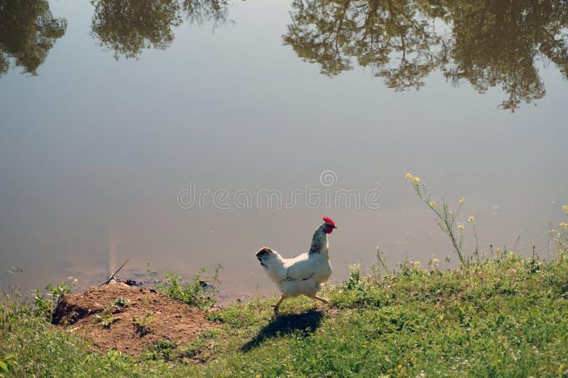 Río riegue el pollo de la hierba de la orilla que corre a lo largo de la orilla stock de ilustración