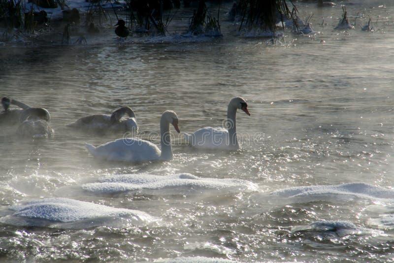Río y cisne fotos de archivo libres de regalías