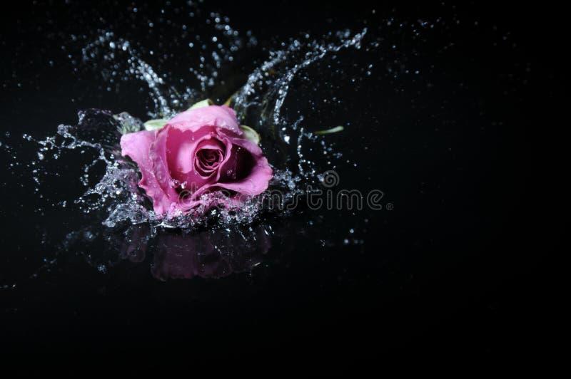 różę lawendy plusk zdjęcie royalty free