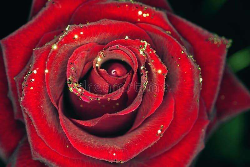 Rewolucjonistki Róża Z Mech I Sosną Obraz Stock Obraz