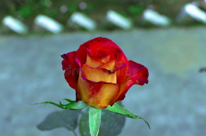 Róża obrazy royalty free