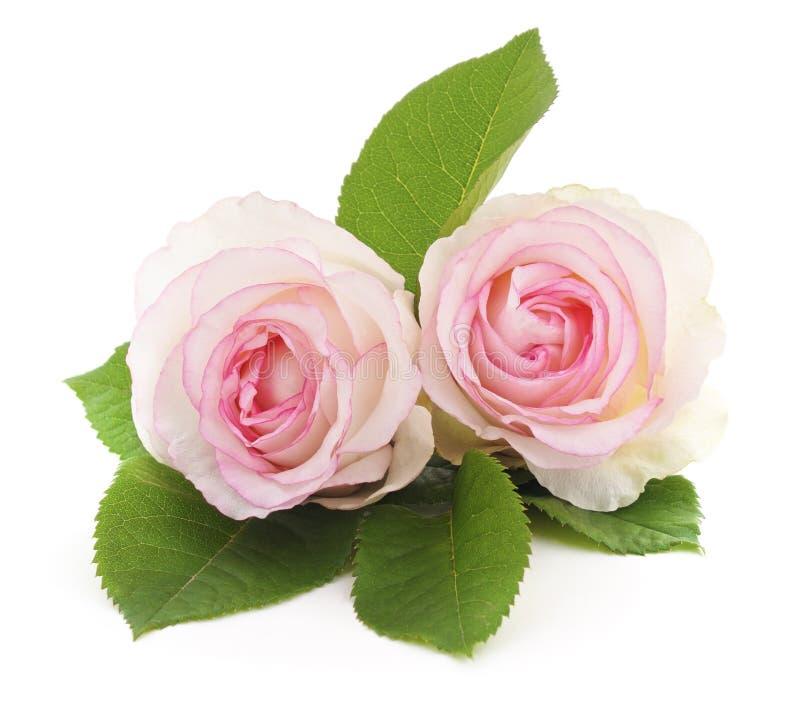 róża biel dwa obrazy stock