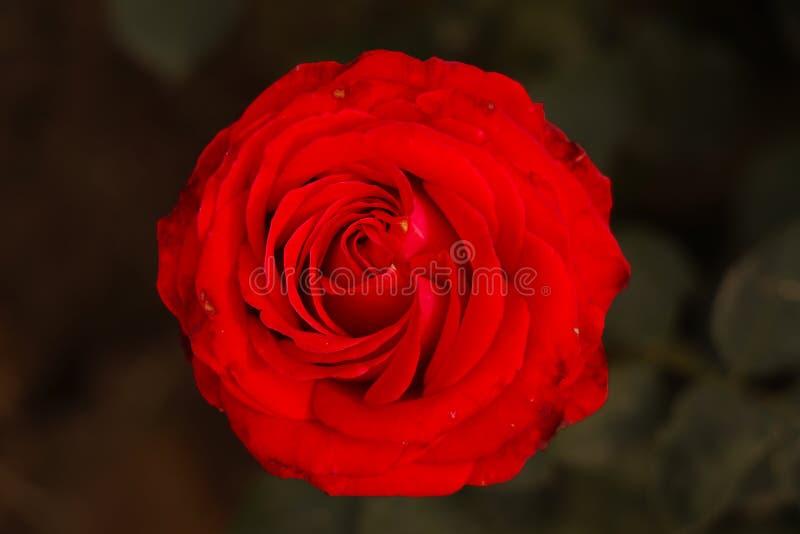 Róża czerwona lub róż kasztanowa zdjęcie stock