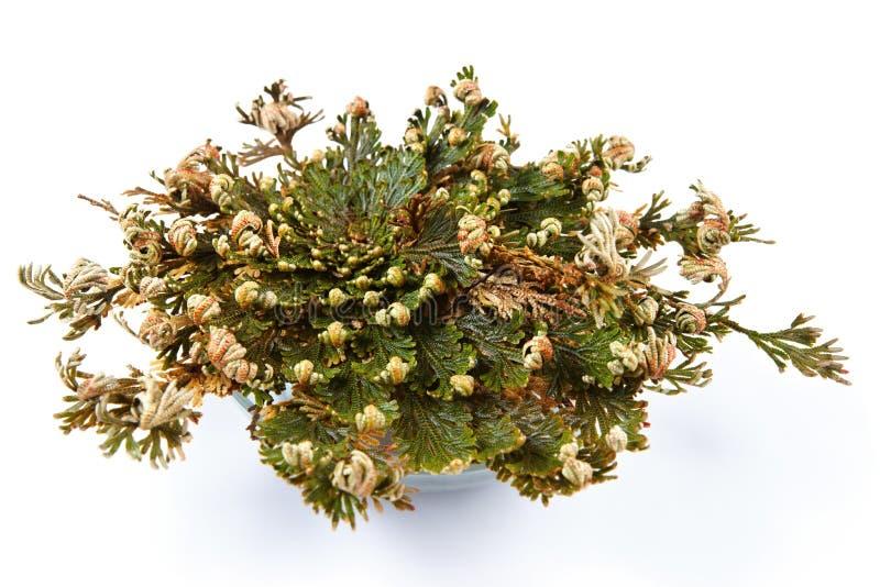 Róża Jerychoński Selaginella lepidophylla, Fałszywa róża Jerychoński, inni pospolici imiona zawiera Jerychońskiego wzrastał, wskr zdjęcie royalty free