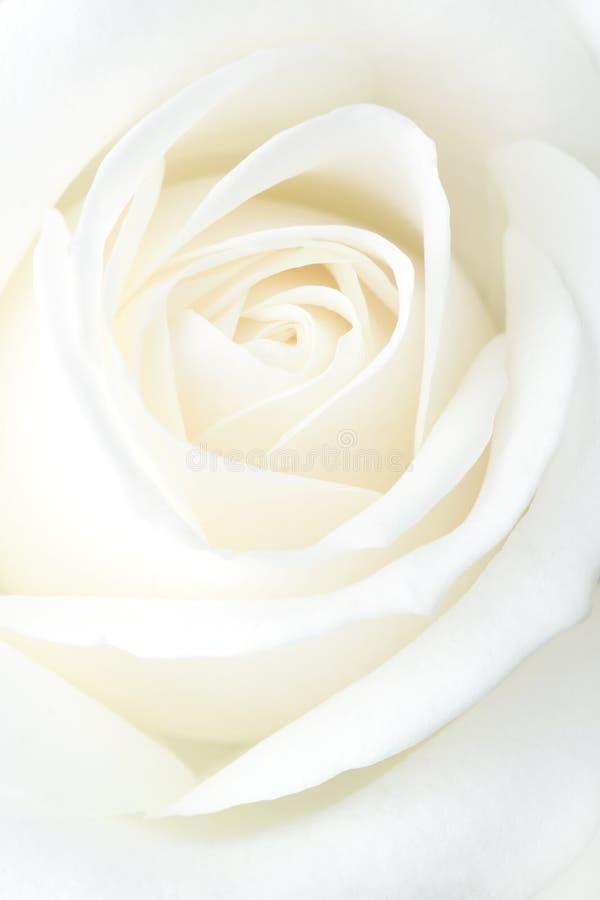 róża kruchy biel obraz royalty free