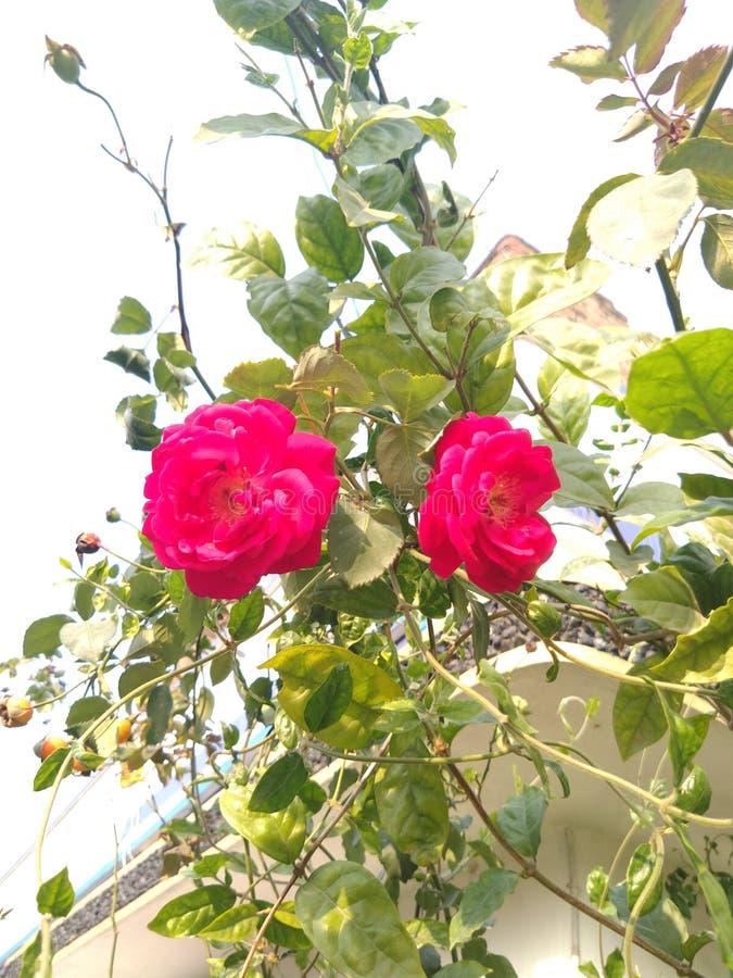 Róża Kwiat Czerwony Dwie Róże zdjęcie royalty free