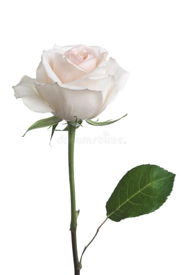 róża odosobniony biel zdjęcia royalty free