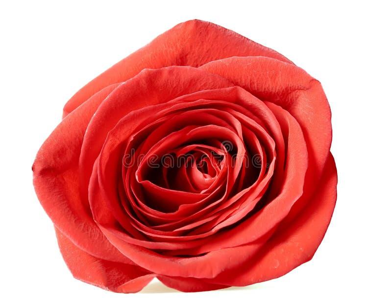 róża odosobniony biel zdjęcia stock