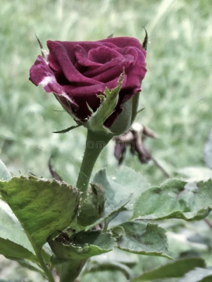 Róża fotografia royalty free