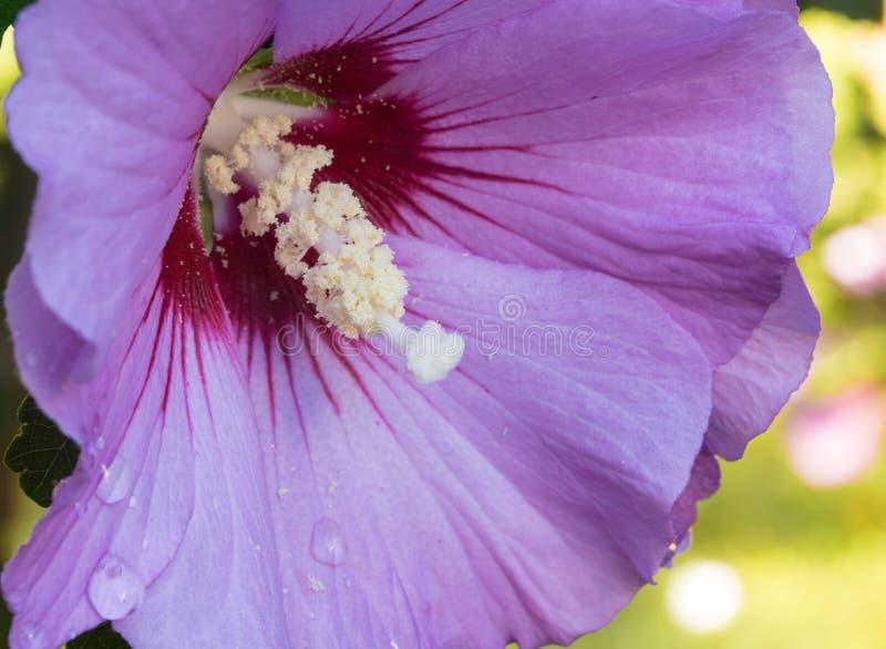 Róża Sharon makro- wizerunek zdjęcia stock