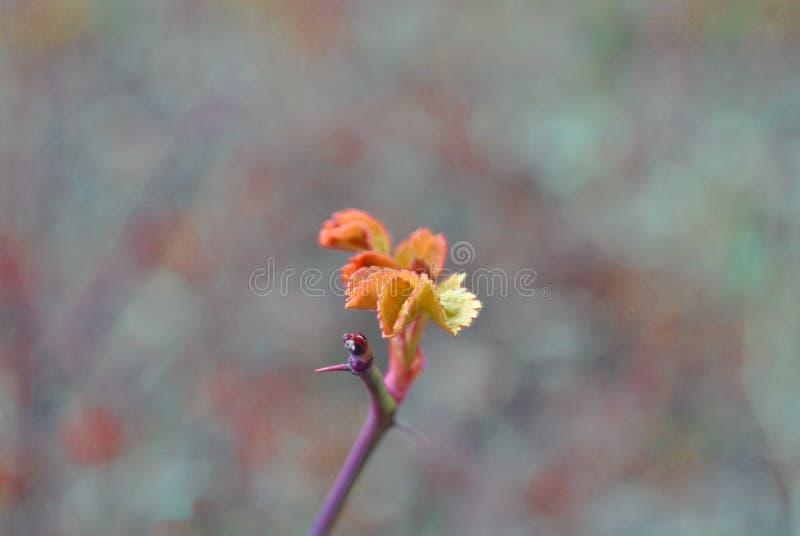Różana biodro gałąź z kolcami i czerwieni wiosny zielony nowy liść dziki wzrastaliśmy na tle szara trawa fotografia stock