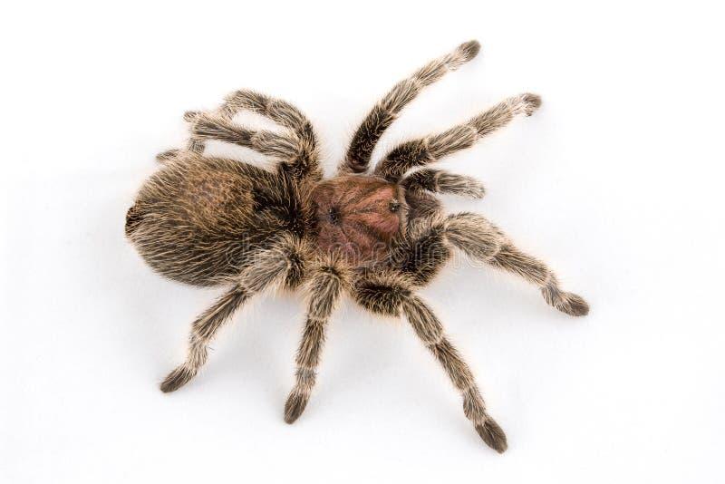 różana Chile tarantula zdjęcie stock