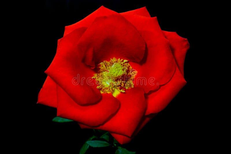 Różana czerwona makro- fotografia na ciemnego tła tła kopii kwiecistej przestrzeni obrazy stock