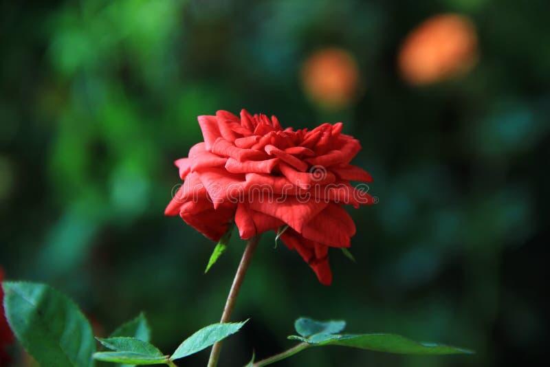 Różana fotografia w naturalnej Różanej fotografii fotografia stock
