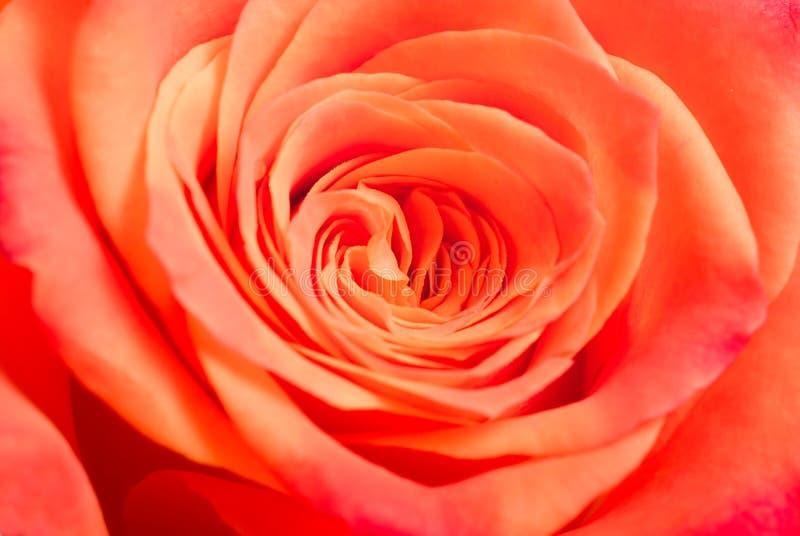 Różana tło tekstura obraz royalty free