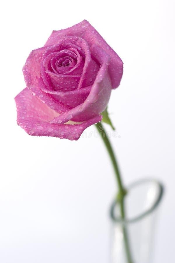 różana waza obraz royalty free