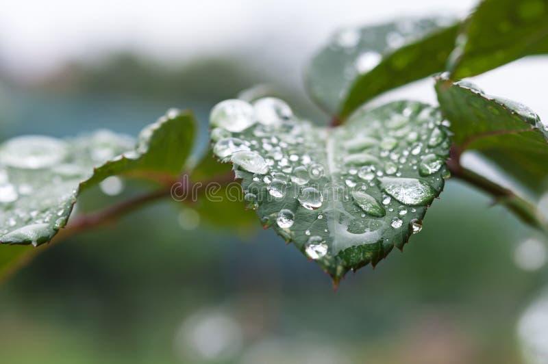 Różane liścia deszczu krople obrazy royalty free
