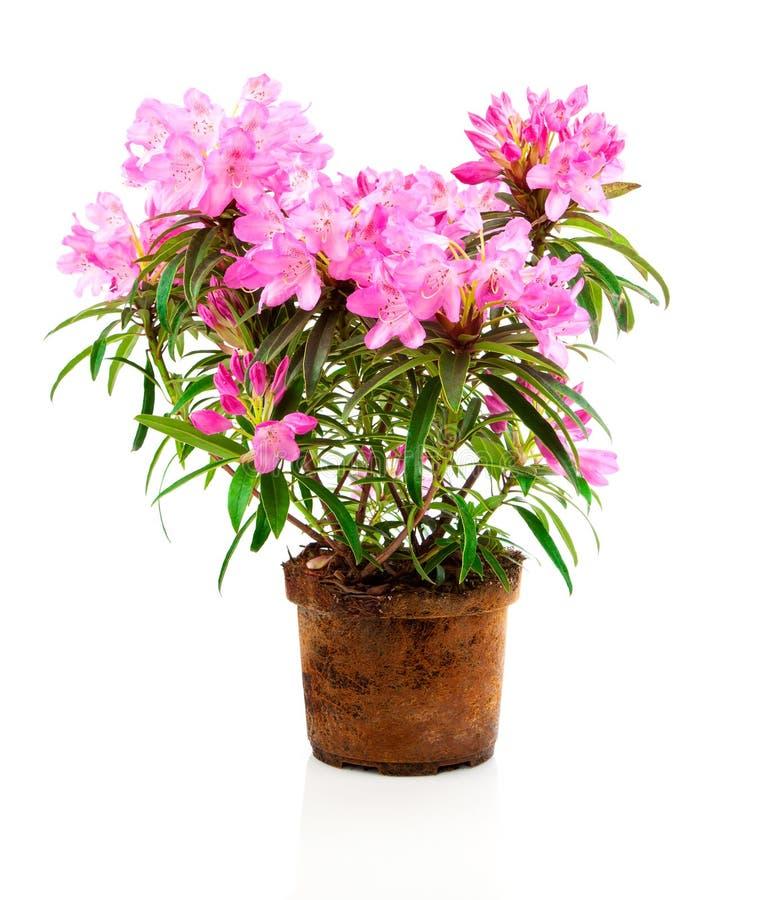 Różaneczników kwiaty obraz royalty free