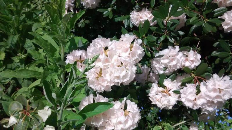 Różaneczników kwiaty fotografia stock
