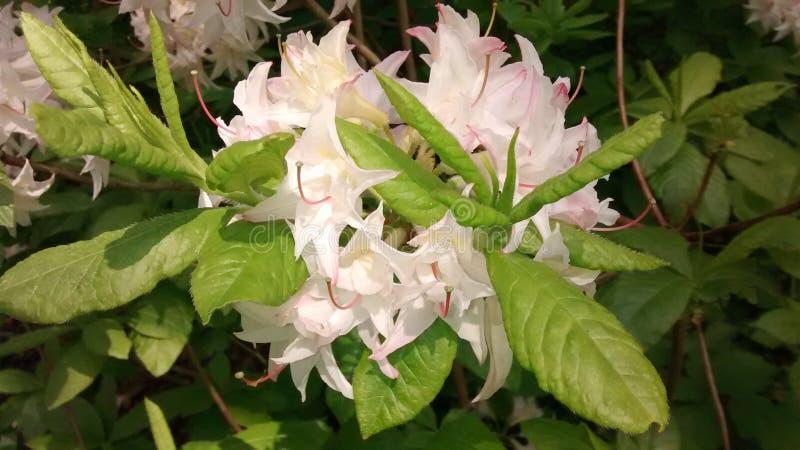 Różaneczników kwiaty zdjęcie stock