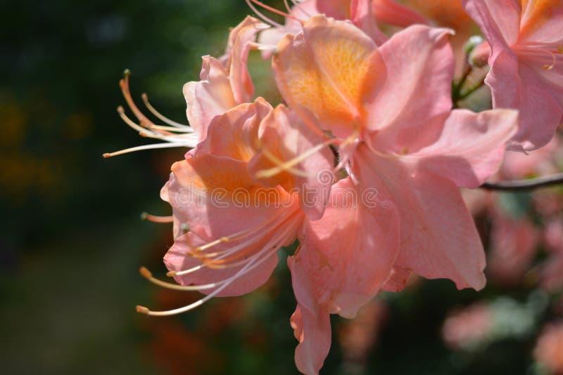 różanecznik zdjęcie stock