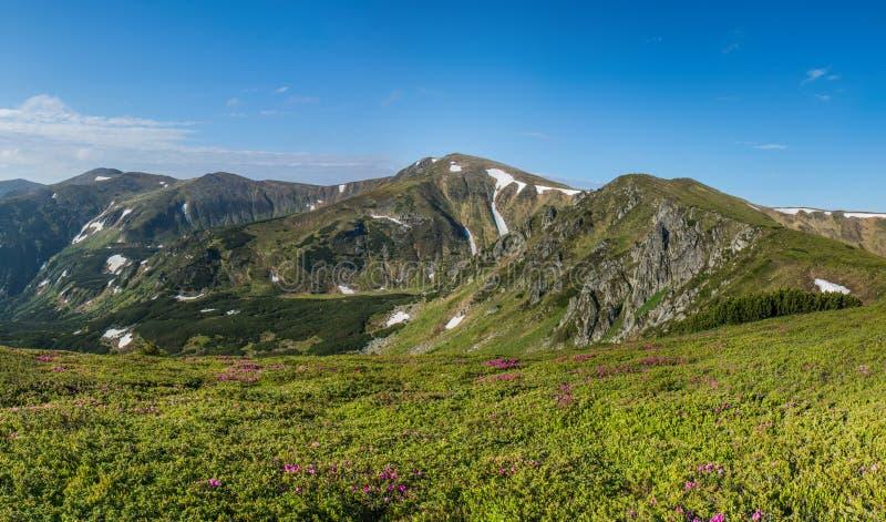 Różanecznika kwiat w górach zdjęcie royalty free