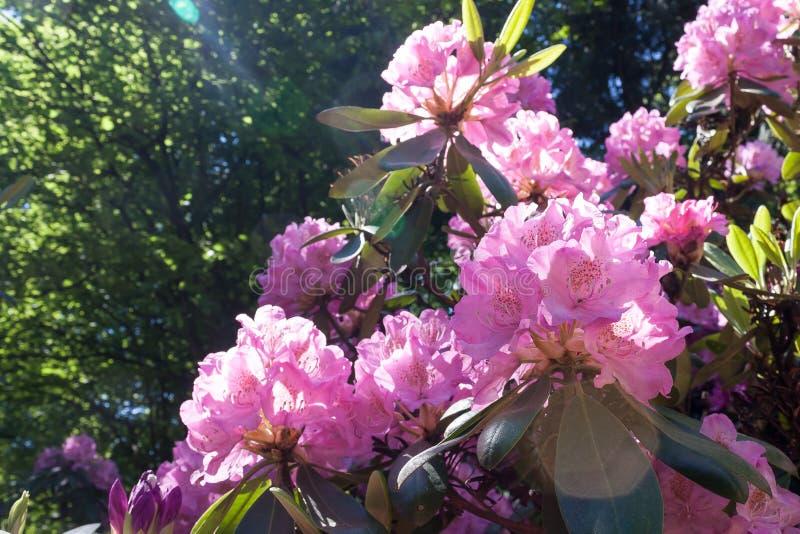 Różanecznika kwiat w Helsinki ` s ogródzie botanicznym zdjęcia stock
