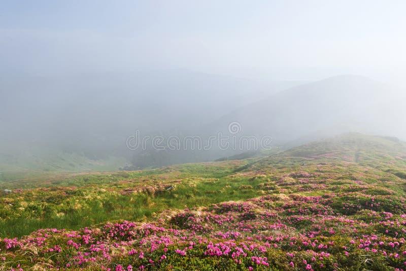 Różaneczniki kwitną w pięknej lokaci w górach kwitnie góry Kwitnący różaneczniki w obraz royalty free