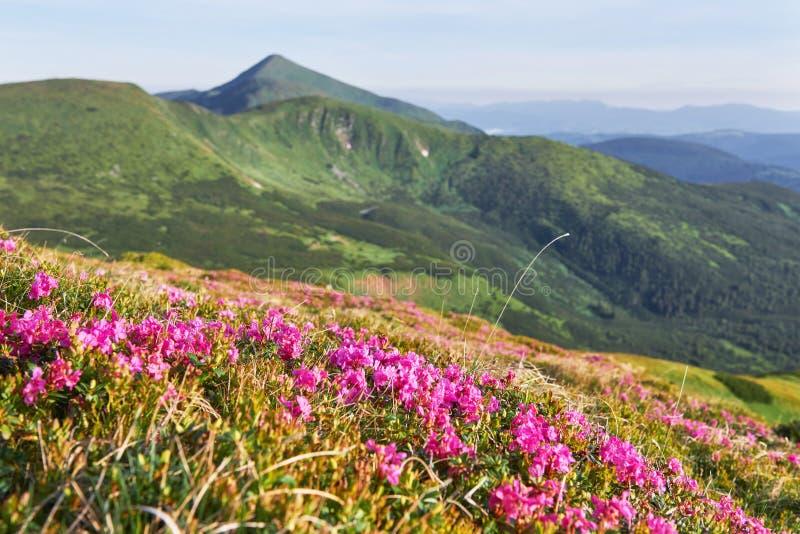 Różaneczniki kwitną w pięknej lokaci w górach kwitnie góry Kwitnący różaneczniki w zdjęcia stock