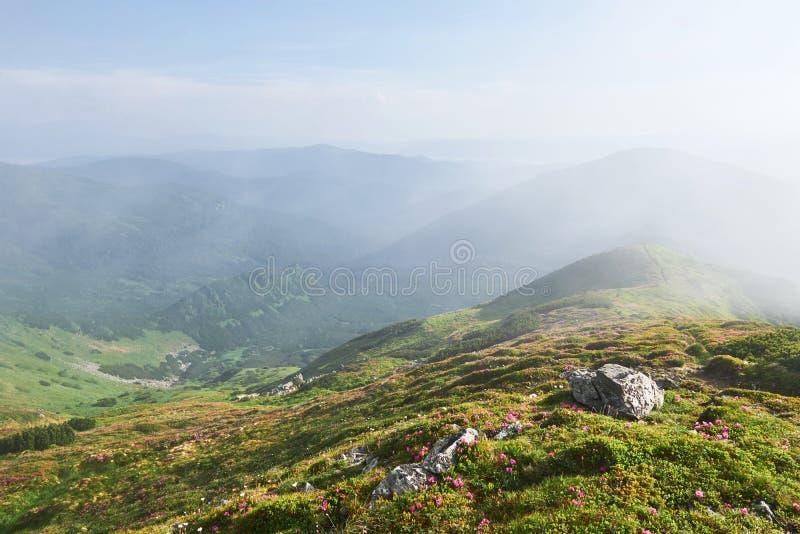 Różaneczniki kwitną w pięknej lokaci w górach kwitnie góry Kwitnący różaneczniki w obrazy stock