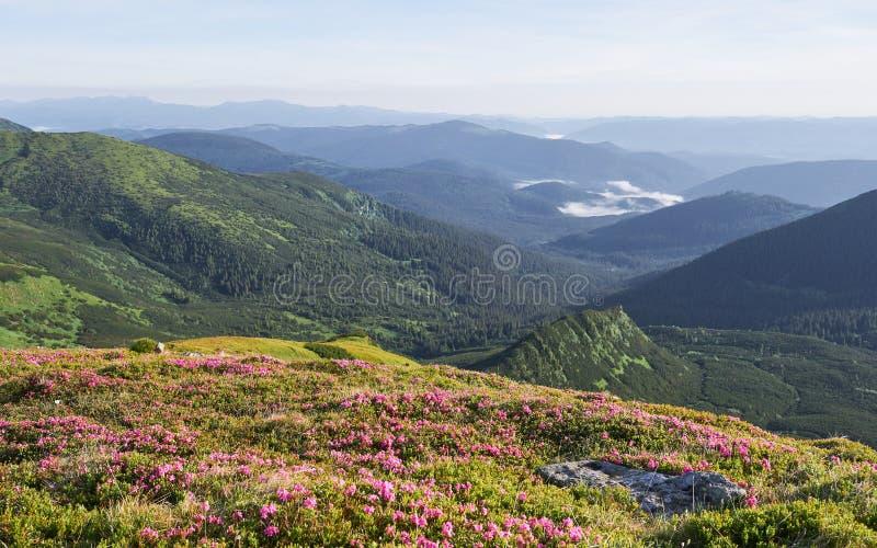 Różaneczniki kwitną w pięknej lokaci w górach kwitnie góry Kwitnący różaneczniki w zdjęcie stock