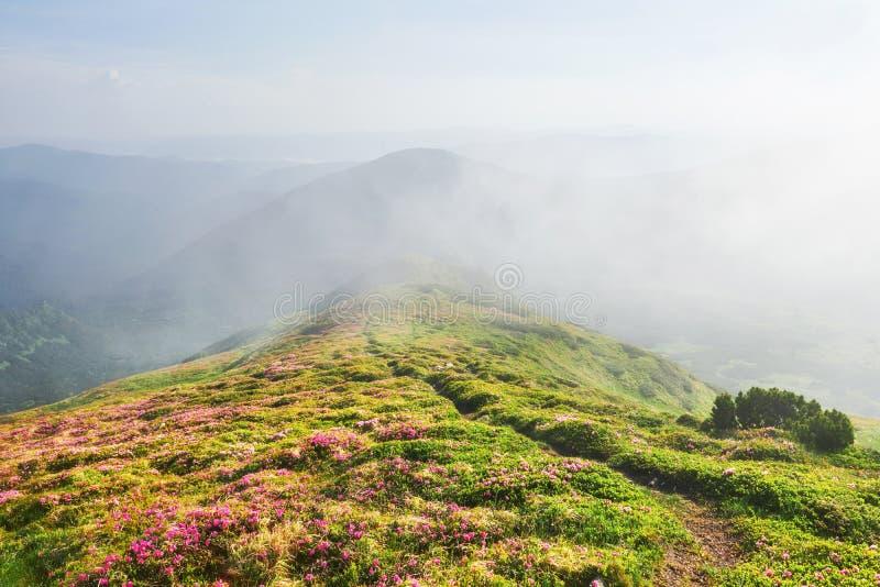 Różaneczniki kwitną w pięknej lokaci w górach kwitnie góry Kwitnący różaneczniki w fotografia royalty free