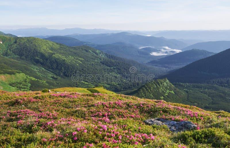 Różaneczniki kwitną w pięknej lokaci w górach kwitnie góry Kwitnący różaneczniki w fotografia stock