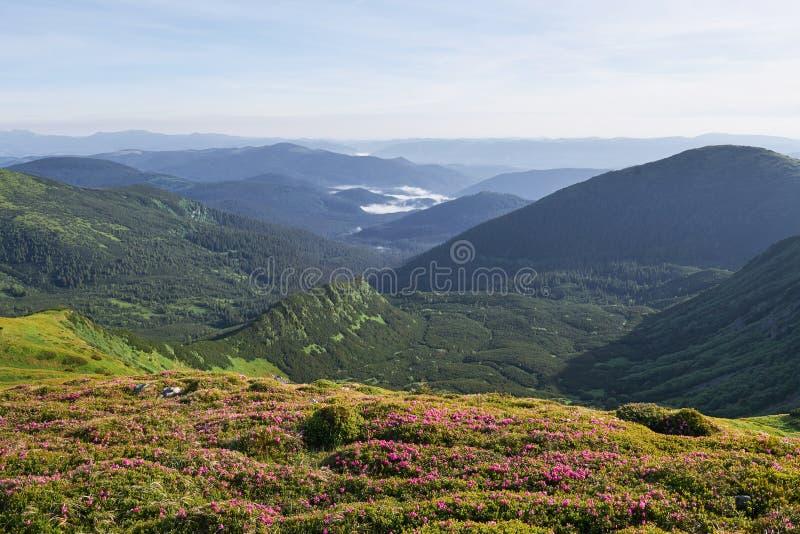 Różaneczniki kwitną w pięknej lokaci w górach kwitnie góry Kwitnący różaneczniki w obrazy royalty free