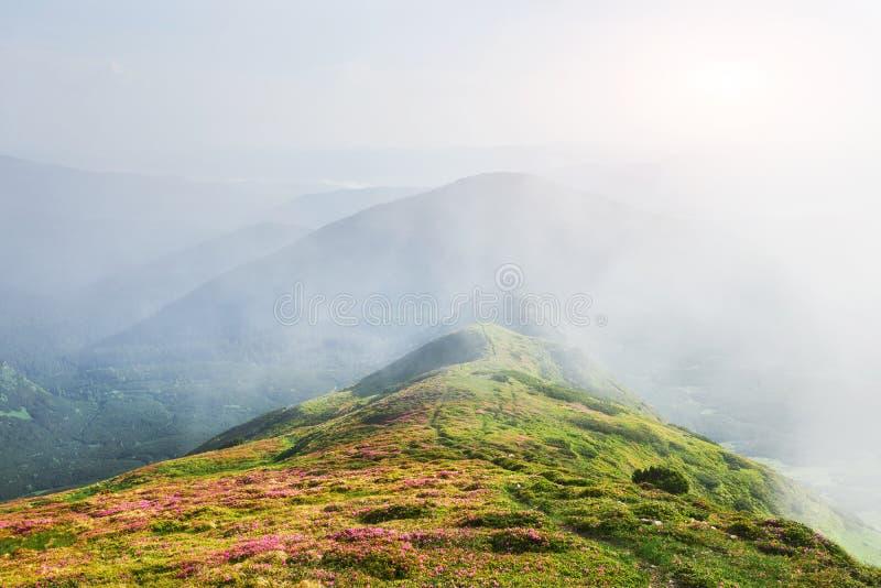 Różaneczniki kwitną w pięknej lokaci w górach kwitnie góry Kwitnący różaneczniki w zdjęcie royalty free