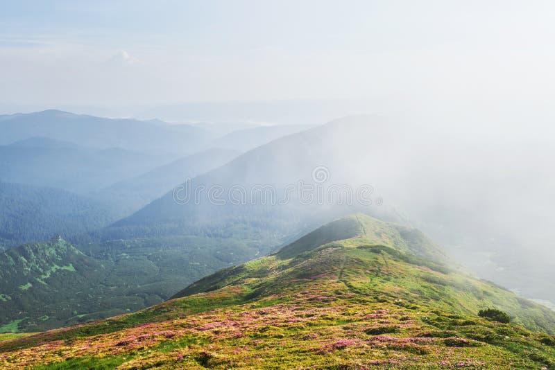 Różaneczniki kwitną w pięknej lokaci w górach kwitnie góry Kwitnący różaneczniki w zdjęcia royalty free
