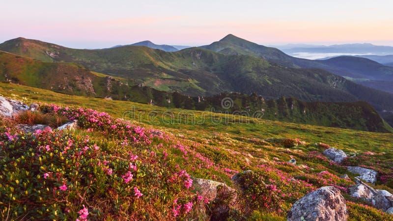 Różaneczniki kwitną w pięknej lokaci w górach piękny zachód słońca Kwitnący różaneczniki w górach fotografia royalty free